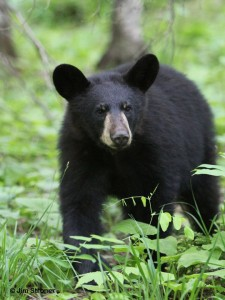 Hope, Lily the Black Bear's Cub