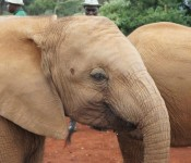 baby elephants at the David Sheldrick Wildlife Trust