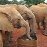 elephants at David Sheldrick Wildlife Trust